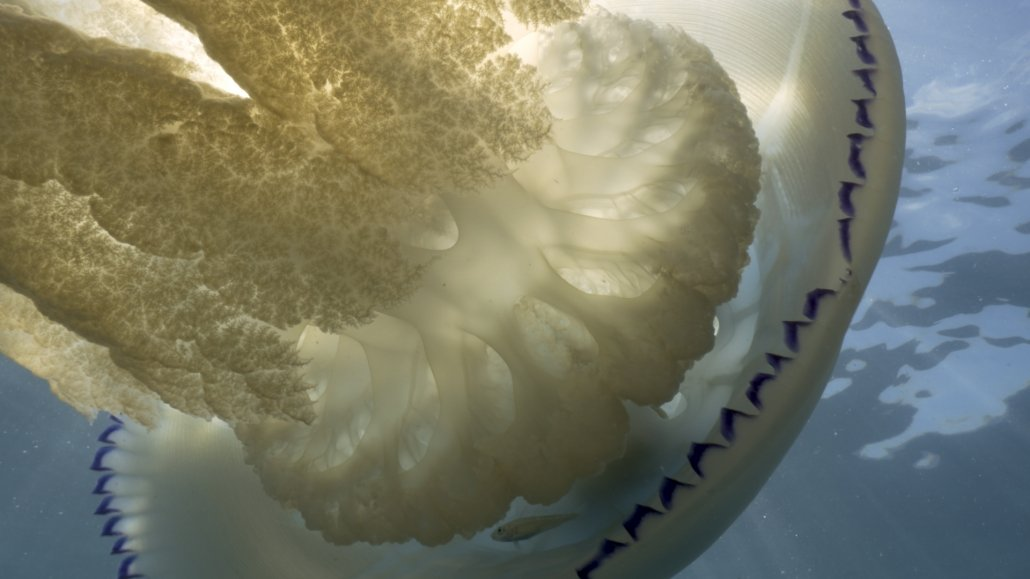 Close up of barrel jellyfish