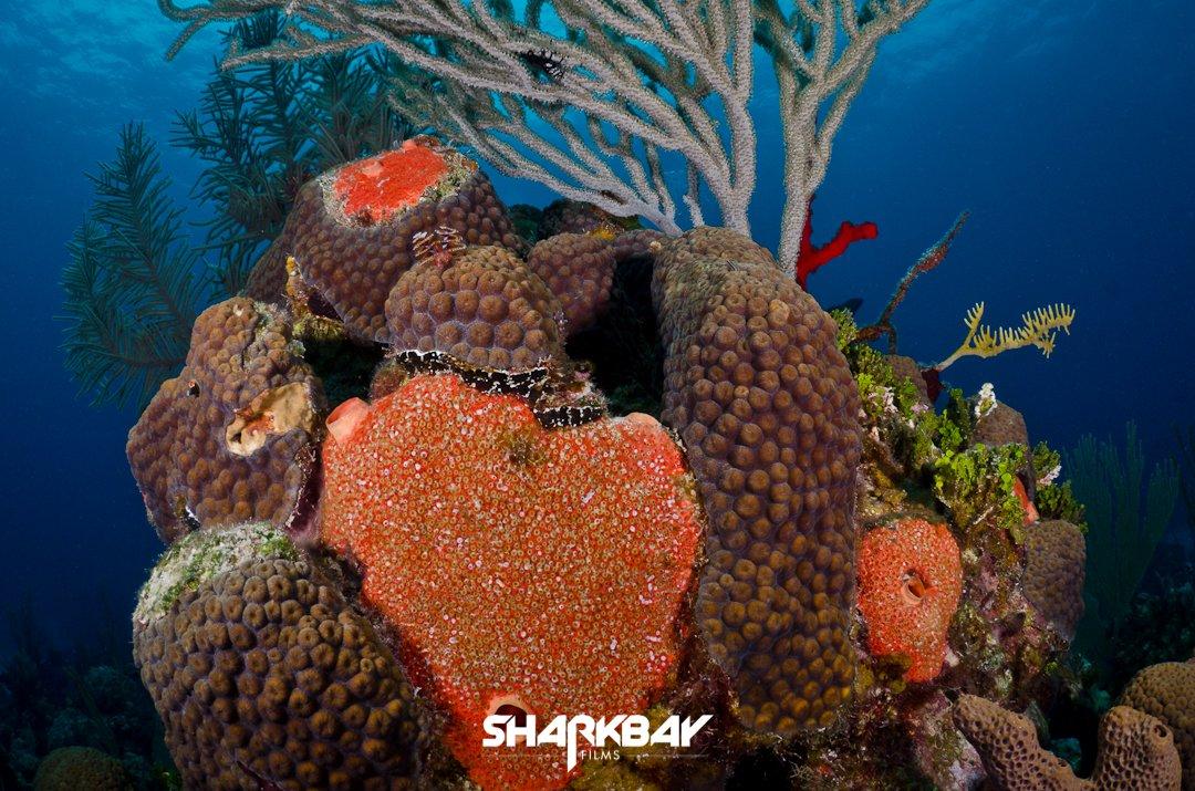 Caribbean Sponges