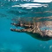 Cuba Crocodile Underwater