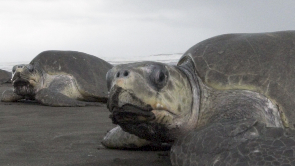 Two Olive Ridley Turtles